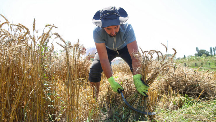 Nilüfer Belediyesi yetiştirdiği buğdayların hasadını yaptı