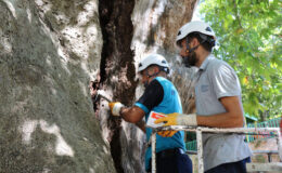 Kocaeli'de asırlık ağaca bakım